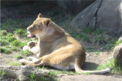 Basking Lion
