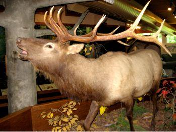 A Kentucky Elk