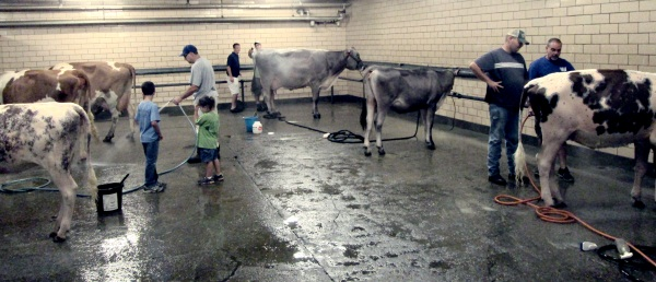 Washing cows