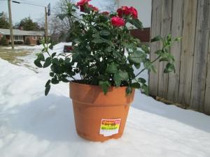 winter.rose